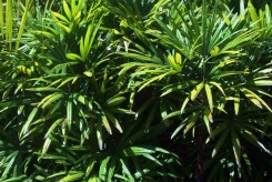 RHAPIS EXCELSA - LADY PALM