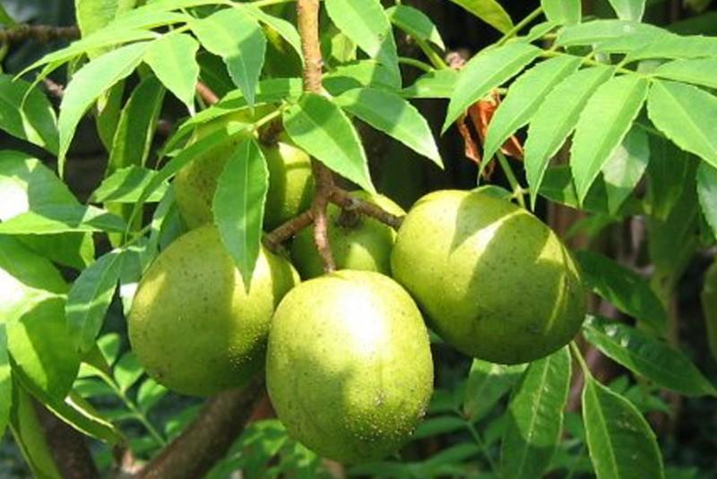 http://www.caribbean-plants.com/shop/image/cache/data/spondias-dulcis-800x535.jpg